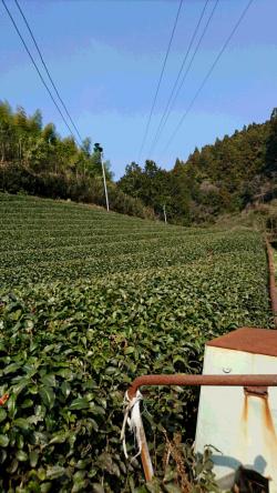 茶畑 施肥